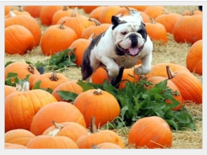   Otis The Bulldog Pumpkins