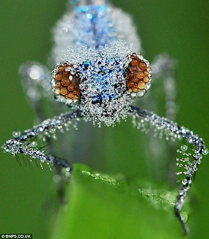 -dew-covered_damsel_flies .jpg