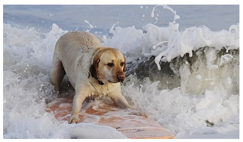 British Surfer Dog