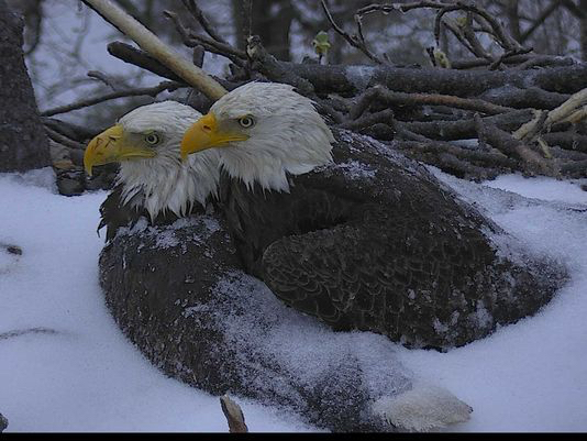Dc Eagles Protect Eggs