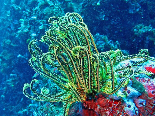 Feather Star Comasteridae - Oxycomanthus Bennetti-001