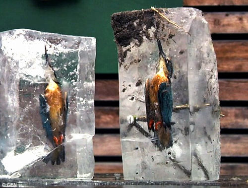 Kingfishers Preserved Ice