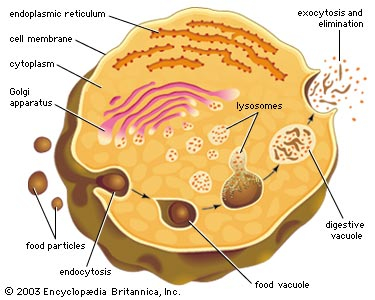  Lysosome Intracellular Digestion 