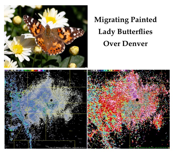 Migrating Butterflies Denver