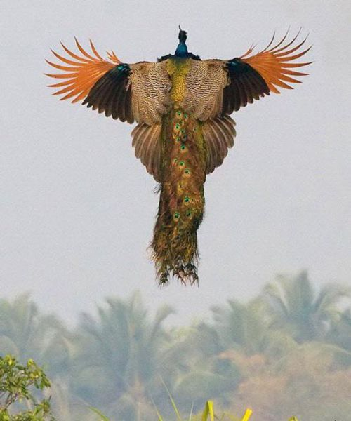 Peacock Full Flight