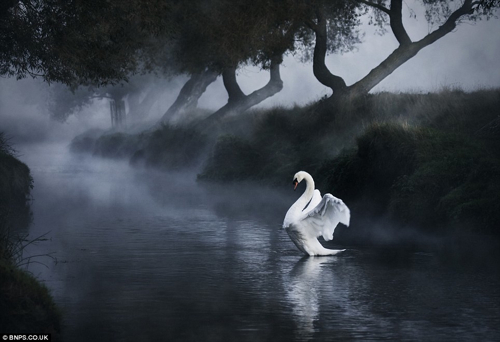  Swan Dawn Alexsaberi