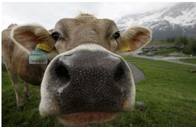 Swiss-Cow