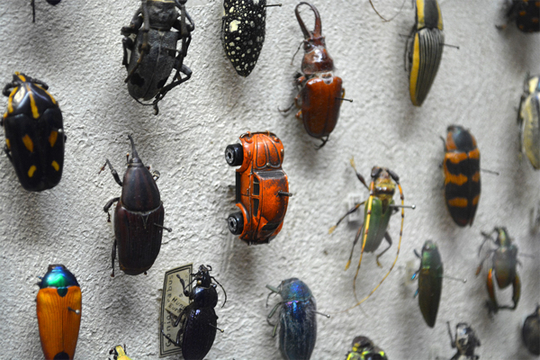 Vwbeetle Insect