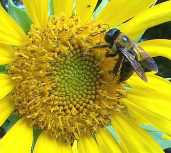  Bee-On-Sunflower-1