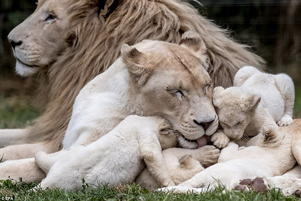 Family-Lions