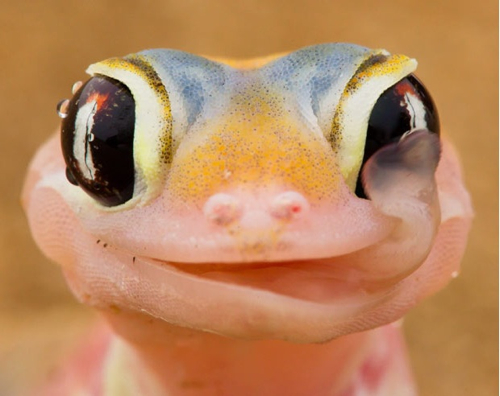 Gecko Licking Eyeball