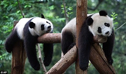 _pandas_exhausted.jpg