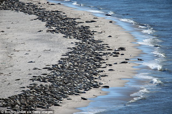 Seals Capecod
