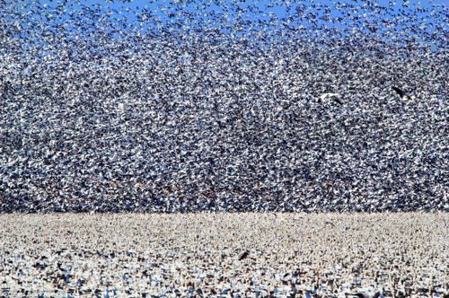 Snowgoose Migration 1.3Million