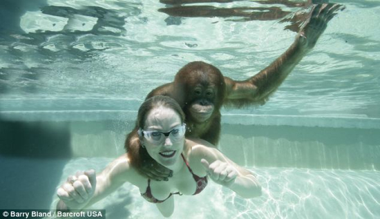 Swimming Orangutan