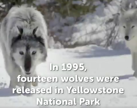 Wolves+Yellowstone